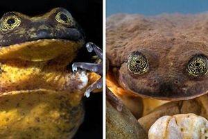 Romeo, chàng ếch cô độc nhất thế giới, cuối cùng đã được hẹn hò sau 10 năm