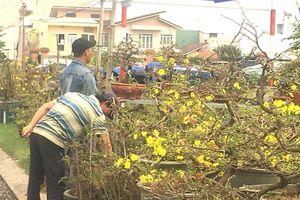 Mai vàng Bình Định bắt đầu 'tràn' ra QL1 để tiêu thụ
