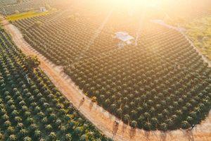 'Vương quốc' thanh long đẹp như tranh ở Bình Thuận