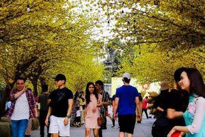 Ngắm đường mai và phố ông Đồ tuyệt đẹp ở trung tâm Sài Gòn