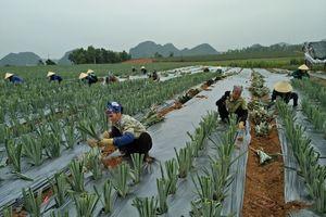 Công ty TNHH N-CN Hà Trung phát triển kinh tế từ các loại nông sản địa phương