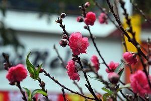 Chợ hoa Hàng Lược nhộn nhịp những ngày cuối năm