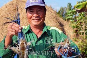 Cận Tết, nông dân đất Mũi phấn khởi thu hoạch 'con tôm ôm gốc lúa'