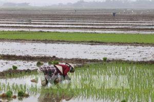 Trên 50,8% diện tích vụ Đông Xuân đã có nước cho gieo cấy