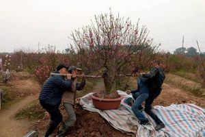 Vụ phá vườn đào tại Bắc Ninh: Vẫn đang chờ kết quả điều tra