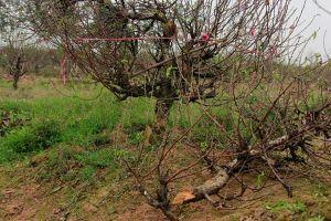 Công an Bắc Ninh nói gì về vụ phá 147 cây đào Tết?