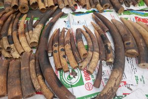 Hải quan Hải Phòng bắt giữ hàng tấn ngà voi, vảy tê tê nhập lậu