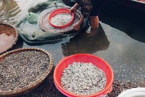 Độc đáo bánh chưng hến 'vượt khó' của người Diễn Châu