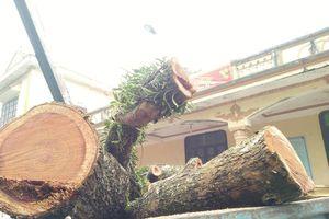 Cận cảnh chặt hạ cây sưa 100 tỷ đồng ở Hà Nội