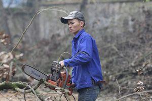 Cận cảnh khai thác cây sưa quý tại đình thôn Phụ Chính
