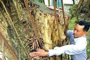 Vì sao một xã ở Hà Nội chặt hạ cây sưa trăm tỉ trước Tết?