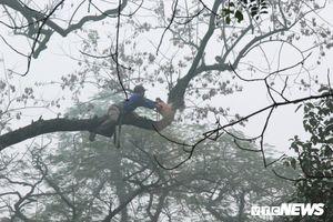 Công nhân đu mình, chặt hạ cây sưa cổ thụ cao hàng chục mét ở Chương Mỹ, Hà Nội