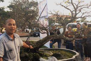 Cây mai cụ thế 'bạt phong' giá 5 tỷ gây sốt ở Quảng Bình
