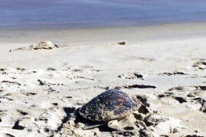 Thả cá thể rùa nằm trong sách đỏ về biển
