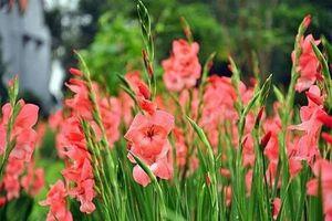 8 bước giữ hoa lay ơn tươi lâu trong những ngày Tết