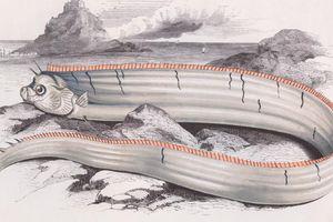 Người Nhật lo sợ sóng thần trước điềm báo từ 'sứ giả thủy cung'