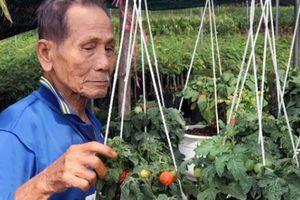 Kiếm tiền dịp Tết: Trồng cà nho Nhật bán chạy như tôm tươi
