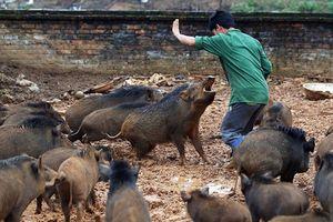 Kỳ lạ ở Việt Nam: Những chủ nhân nổi tiếng nhờ... lợn