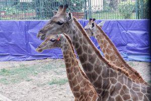 Hươu cao cổ lần đầu tiên xuất hiện tại vườn thú Hà Nội dịp Tết