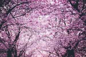 Khám phá nước Nhật - Bài 2: Mùa hoa anh đào đầu tiên