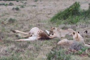 CLIP: Sư tử săn hươu cao cổ trong 'chớp mắt'