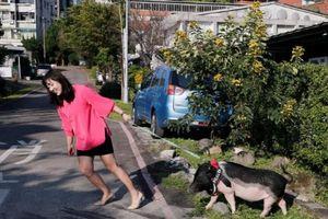 Năm Kỷ Hợi, giới trẻ Trung Quốc đua nhau nuôi lợn cảnh