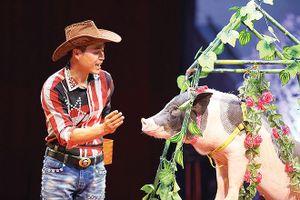 Những chú lợn đeo nơ, nhảy lửa... 'độc nhất vô nhị'