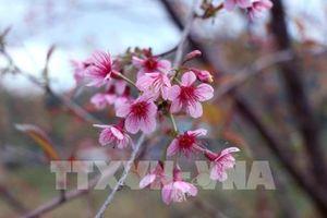 Pẳng Tớ Dày: Hoa báo Xuân về