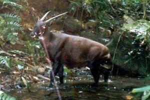 Sao la lọt top 10 loài động vật có nguy cơ tuyệt chủng cao nhất