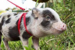 Những lý do khiến nhiều người muốn nuôi lợn làm thú cưng trong nhà