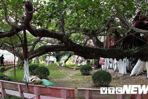 Chiêm ngưỡng cây đa 13 gốc độc nhất vô nhị ở Hải Phòng