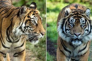 Thay vì kết đôi, hổ cái quý hiếm bị con đực giết chết tại sở thú Anh