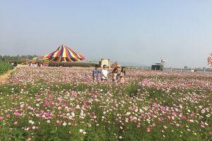 Ngỡ ngàng vườn hoa tam giác mạch, hoa hướng dương rực rỡ ven thành phố Vinh