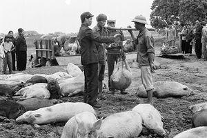 Chuyện con lợn nhân năm Hợi (kỳ 2)