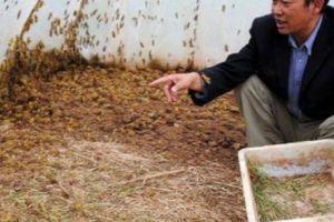 Phát tài nhờ nuôi loài côn trùng 'bật tanh tách' ở bãi bồi ven sông