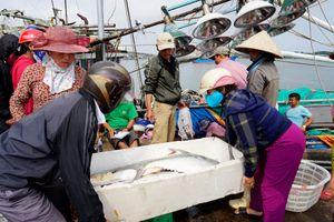 Ngư dân Quảng Trị trúng mẻ cá bè vàng hơn 100 tấn