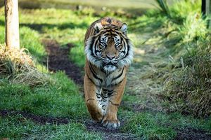 Hổ sắp tuyệt chủng giết chết bạn tình ở lần 'hẹn hò' đầu gây chấn động
