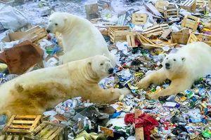 Môi trường sống thu hẹp, 'đoàn quân' gấu Bắc cực xâm lăng quần đảo Nga