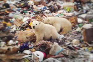 Gấu Bắc cực 'xâm chiếm' một quần đảo ở Nga