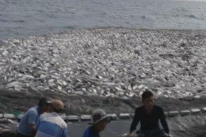 Cận cảnh mẻ cá 120 tấn