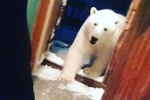 Gấu Bắc cực khiến một quần đảo của Nga nguy khốn