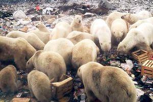 Nga: Nhiều người hoảng loạn khi gấu Bắc cực tràn vào thị trấn kiếm ăn