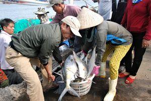Ngư dân Quảng Trị trúng đậm mẻ cá đầu năm, thu hơn 7 tỷ đồng