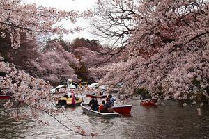 Lịch ngắm hoa anh đào khoe sắc tại các vùng của Nhật Bản