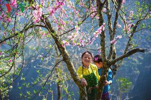 Lên Hà Giang ngắm hoa đào, hoa mận bừng nở trên cao nguyên đá