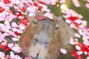 Phát hờn với chuột lang nước khi valentine FA vẫn sang chảnh