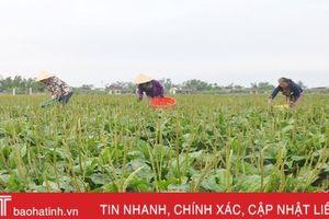 Tạm ngừng liên kết sản xuất kim tiền thảo, nông dân lẫn doanh nghiệp gặp khó