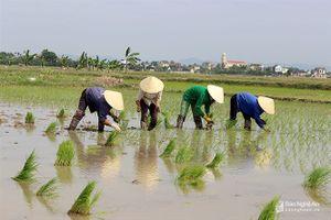 Nghệ An: Lo lúa trổ sớm