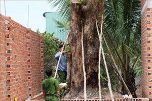 Phạt 150 triệu đồng đối tượng khai thác trái phép cây giáng hương cổ thụ