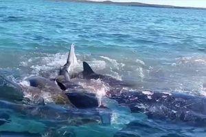 Hàng trăm con cá mập vây kín bờ biển Úc